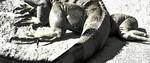 Leguan - leguan tierfotografie