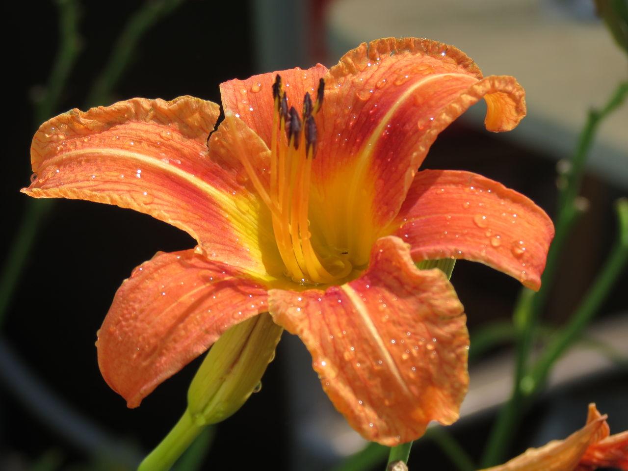 bild lilie wassertropfen blume orange von elke p bei. Black Bedroom Furniture Sets. Home Design Ideas