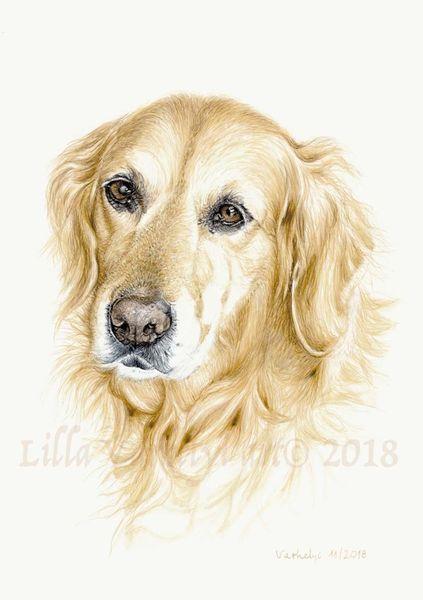Hund, Tuschezeichnung, Tierportrait, Gold, Goldenretriever, Commission