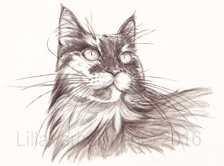 Illustration, Monochrom, Figurativ, Tusche, Zeichnen, Maincoon