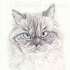 Tuschmalerei, Tierzeichnung, Katze, Maincoon
