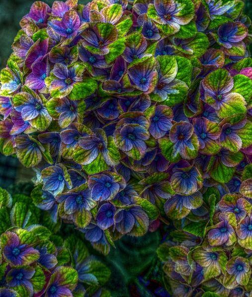 Farben, Hortensien, Hdr, Fotografie