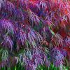 Farben, Pflanzen, Blätter, Ahorn