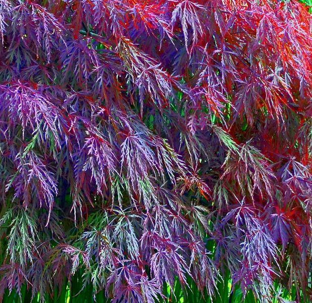 Blätter, Ahorn, Hdr, Spitzahorn, Fotografie, Farben