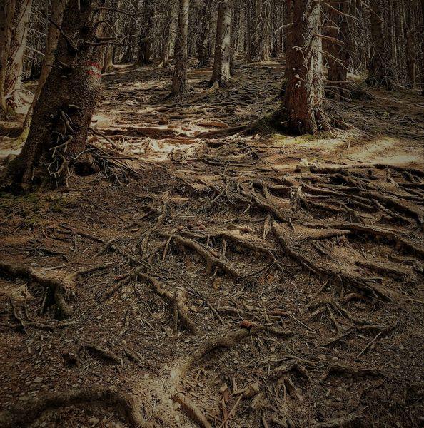 Wurzel, Waldboden, Äste, Tanne, Fotografie