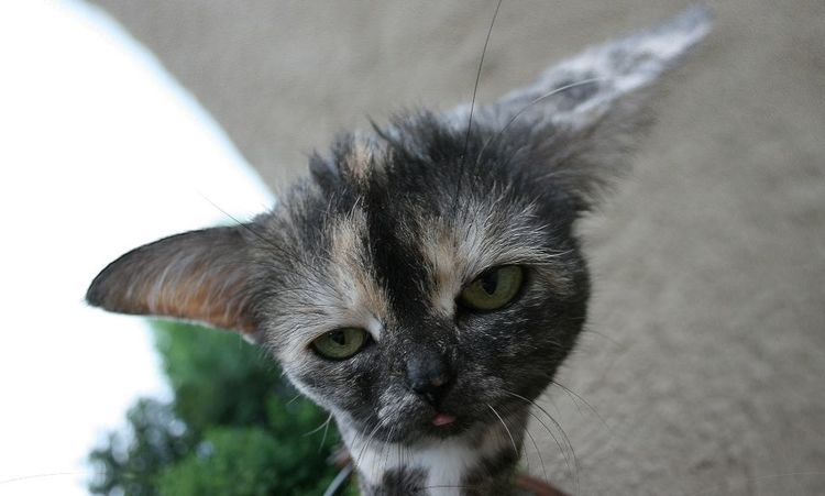 Schildpatt, Katze, Haustier, Felidae, Digitale kunst, Spielerei