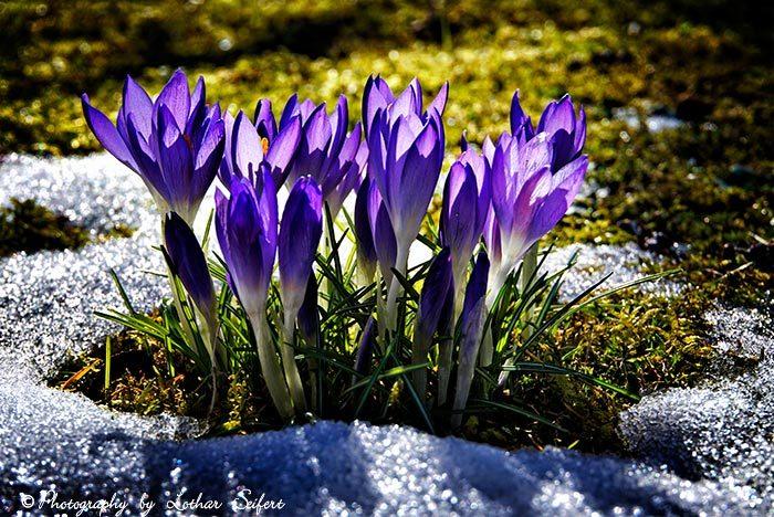 Krokus, Blüte, Blumen, Frühling, Fotografie