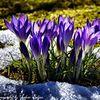 Blüte, Blumen, Frühling, Krokus