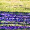 Feld, Lavendel, Weizen, Malerei