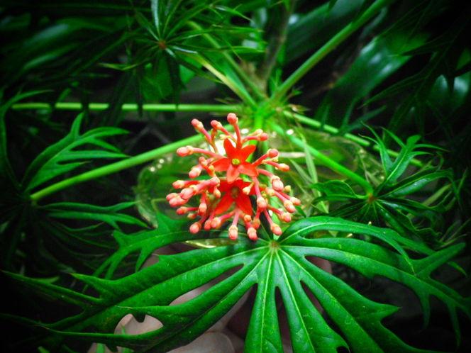 Jatropha multifida, Korallenstrauch, Korallenbaum, Jatropha, Digitale kunst, Digital