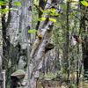 Birken, Rüenberger, Pilze, Wald