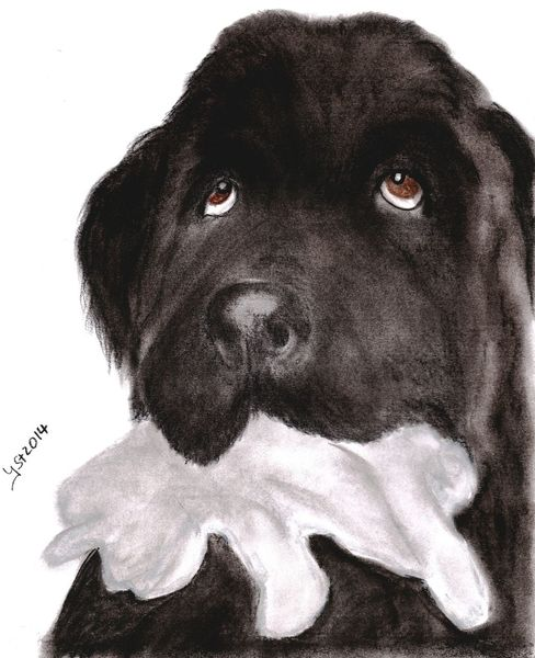 Pastellmalerei, Hundeportrait, Nach photo, Neufundländer, Hund, Zeichnung