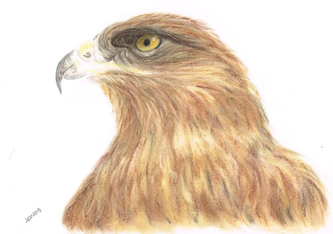 Pastellmalerei, Augen, Vogel, Portrait, Tiere, Zeichnung