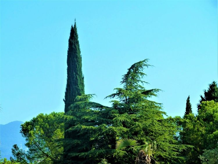 Zypressen, Italien, Landschaft, Baum, Mischtechnik, Vi