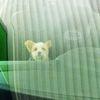 Terrier, Portrait, Auto, Hund