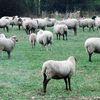 Nummer, Herd, Schaf, Wiese