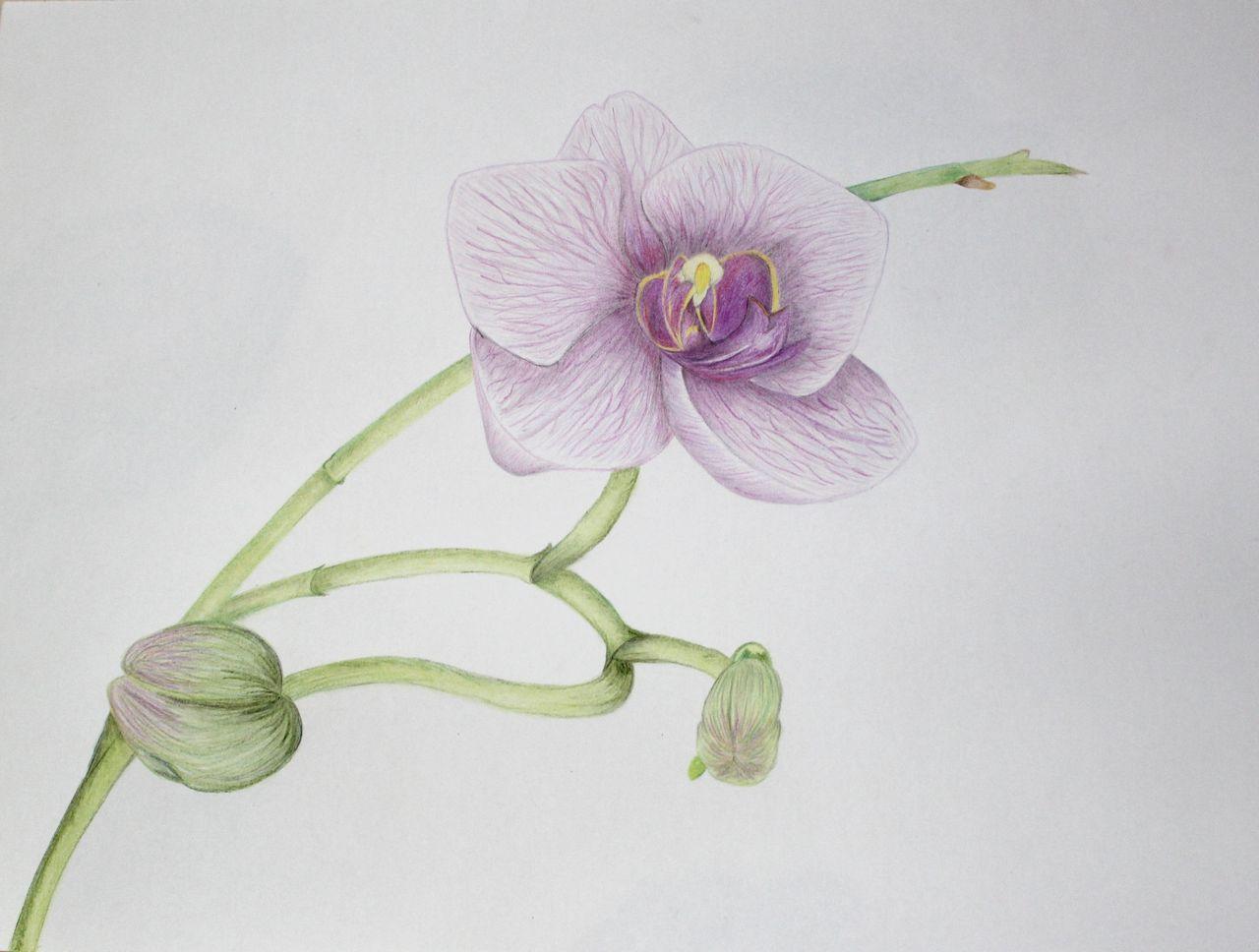 Einzelne Orchidee Zeichnung Blumen Orchidee Buntstiftzeichnung
