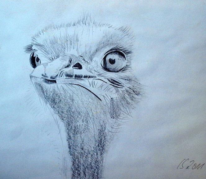 Zeichnung, Emu, Zeichnungen