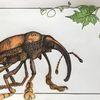 Urtier, Puschen, Käfer, Rüssel
