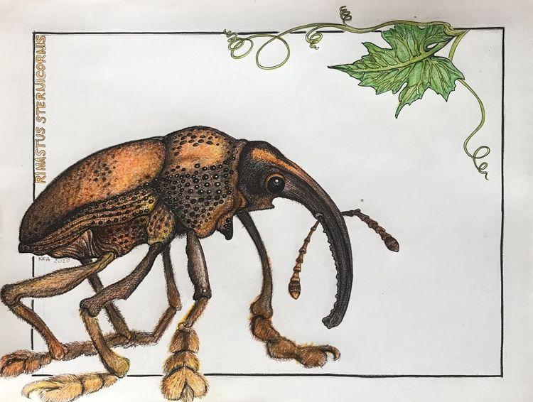Urtier, Puschen, Käfer, Rüssel, Zeichnungen