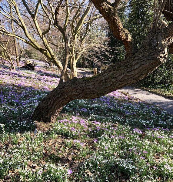 Frühlingssehnsucht, Krokus, Schneeglöckchen, Baum, Fotografie