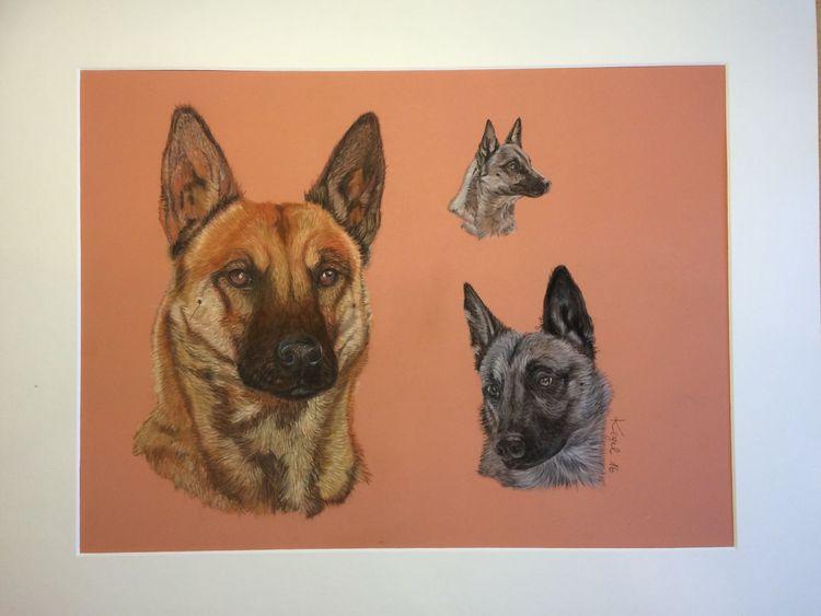 Hund, Malinois, Pastellmalerei, Portrait, Tiere, Zeichnungen