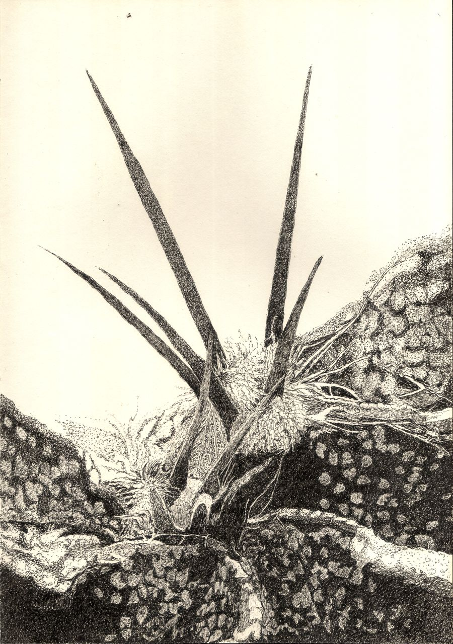 bild schwarz wei kaktus pflanze von kruemel1 bei kunstnet. Black Bedroom Furniture Sets. Home Design Ideas