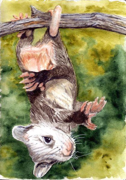 Lebewesen, Kralle, Fell, Tiere, Nase, Opossum