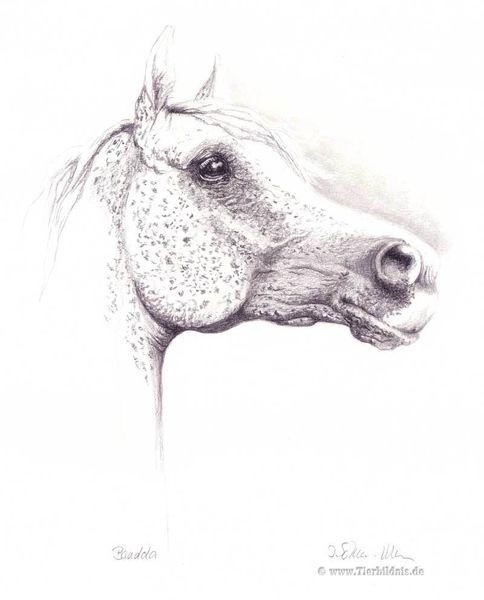 Bleistiftzeichnung, Stammstute, Pferdeportrait, Natur, Arabischer schimmel, Pferdezeichnung