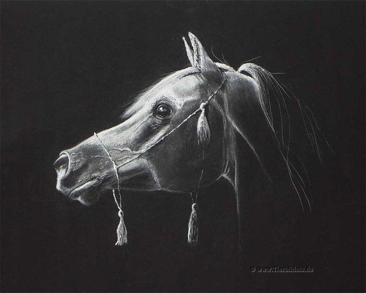 Arabischer hengst, Pferdeportrait, Pastellmalerei, Arabisch, Vollblutaraber, Kreidezeichnung