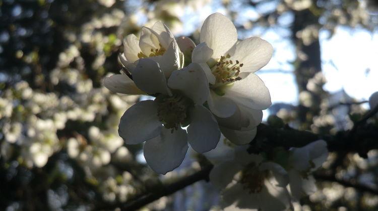 Träumereien, Besinnlichkeit, Reiz, Reif, Fotografie, Kirschblüten