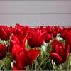 Tulpen, Fotografie, Pflanzen, Blumen