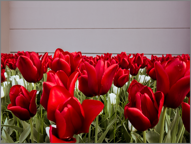 Pflanzen, Blumen, Tulpen, Fotografie