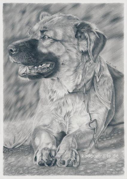 Bleistiftzeichnung, Hund, Mischling, Hütehund, Zeichnungen