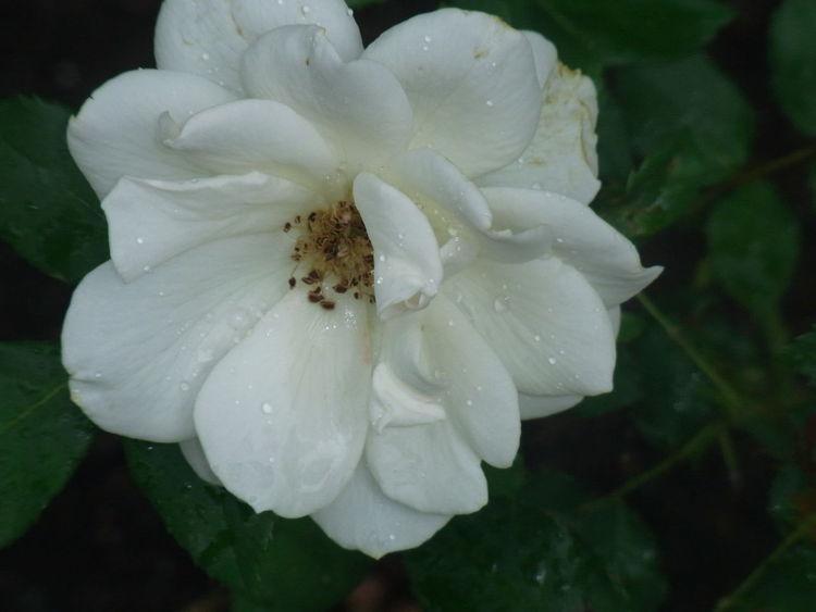Blumen, Weiß, Tropfen, Rose, Fotografie