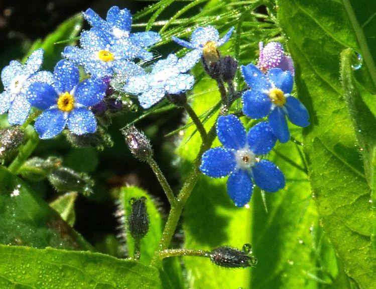 Blau, Frühling, Blüte, Tau, Fotografie, Vergessen