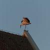 Storch, Abendlicht, Dach, Freude