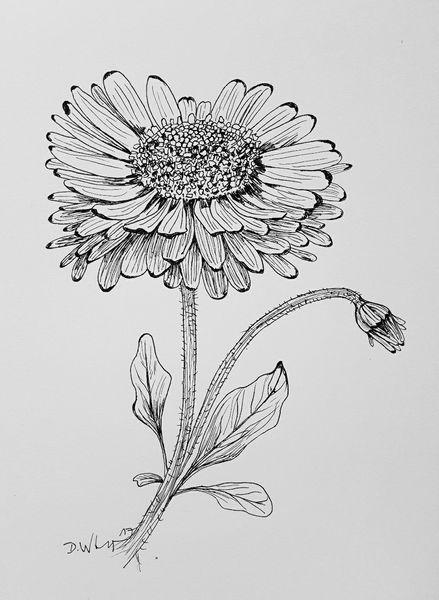 Pflanzen, Blumen, Gänseblümchen, Illustrationen, Illustration