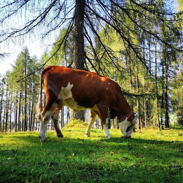 Natur, Tiere, Kuh, Fotografie