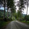 Birkenbäume, Pflanzen, Natur, Fotografie