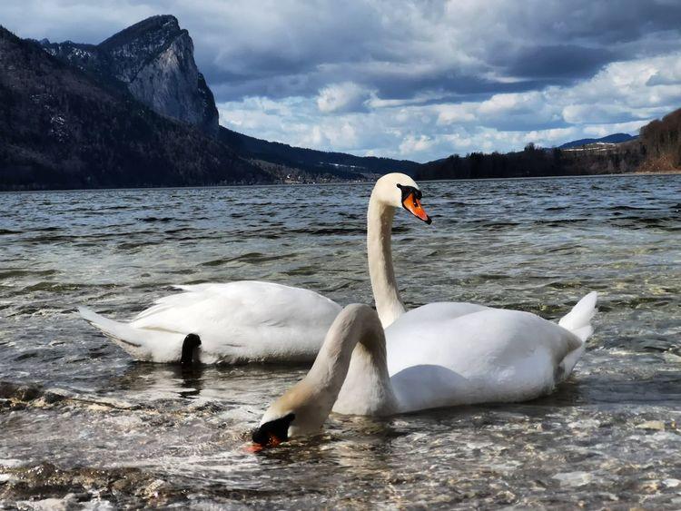 See, Schwan, Wasser, Natur, Fotografie