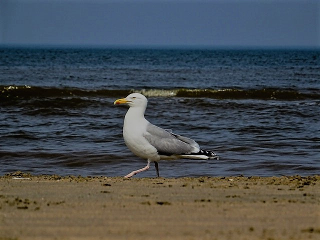 Vogel, Möwe, Tiere, Strand, Fotografie