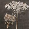 Blumen, Wilde möhre, Tusche, Zeichnung