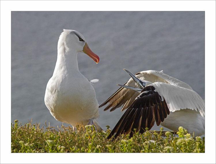 Fliegen, Tierwelt, Küste, Basstölpel, Helgoland, Strand