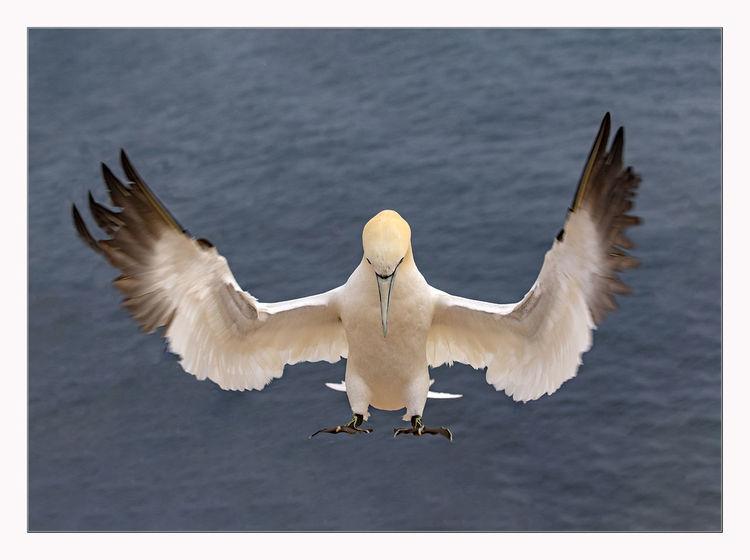 Helgoland, Insel, Vogel, Küste, Fliegen, Basstölpel