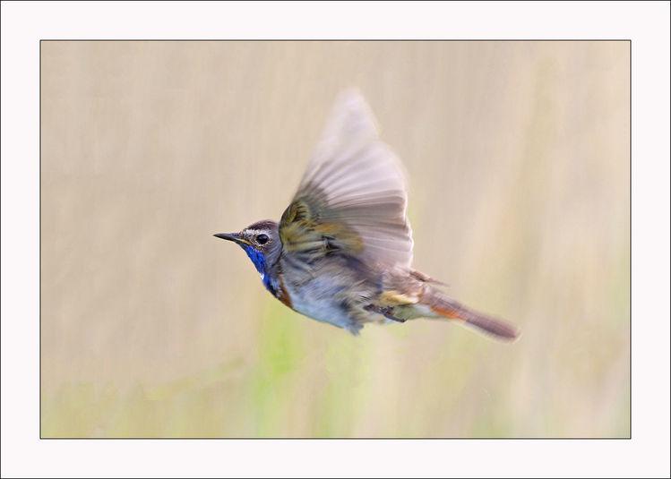 Blaukehlchen, Singvogel, Fliegen, Im flug, Vogel, Bunt