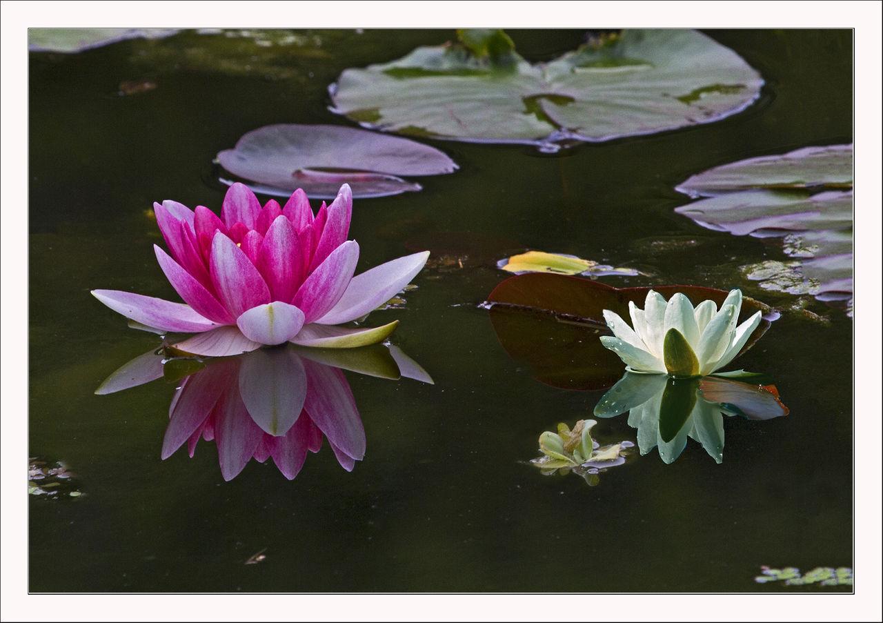 Top Seerosen in einem Teich - Blüte, Malen, Wasser, Pflanzen von &QM_19