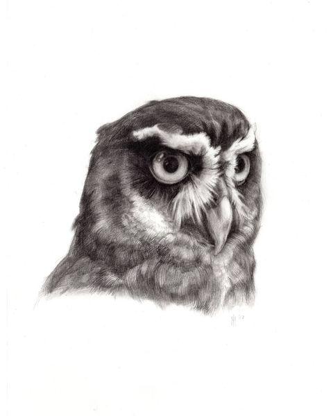 Bleistiftzeichnung, Vogel, Natur, Brillenkauz, Feder, Kopf