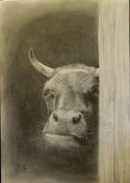 Rind, Kuh, Bleistiftzeichnung, Zeichnungen, Stall, Blick