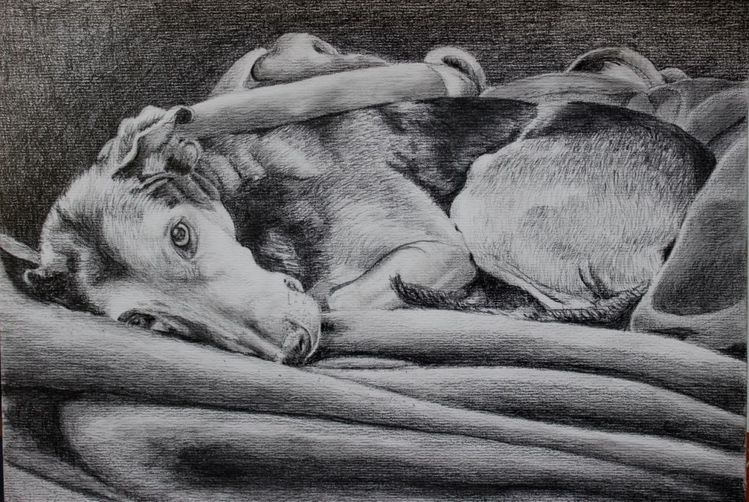 Brake, Decke, Intimität, Hund, Bleistiftzeichnung, Zeichnungen
